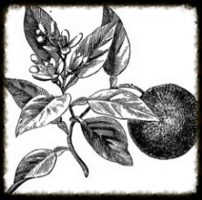 chineseherb-drawing